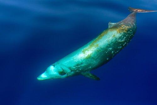 Baleia-bicuda-de-cuvier