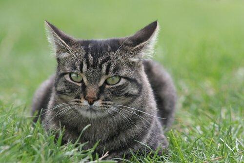 Gato manês: cuidados, comportamento e características
