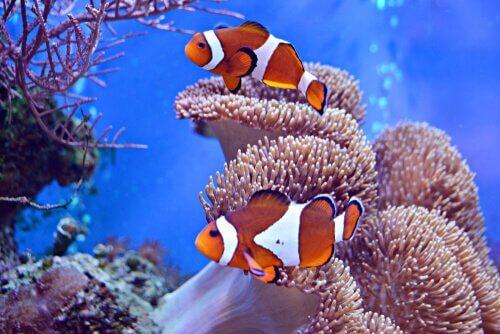 O peixe-palhaço e a anêmona