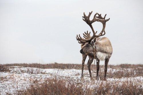 7 fatos curiosos sobre as renas