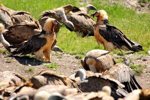 Abutres-barbudos reunidos