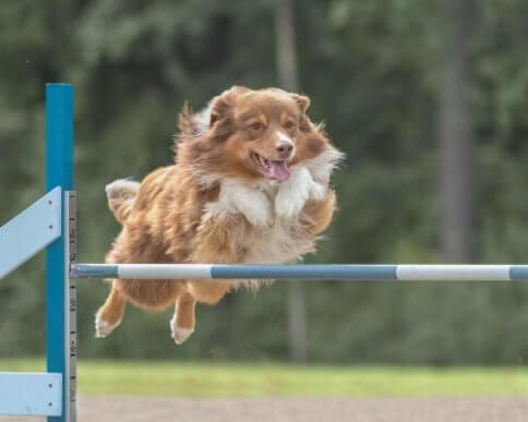 Agilidade canina: treinamento e nutrição