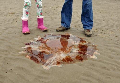 Toxicidade da água-viva juba-de-leão