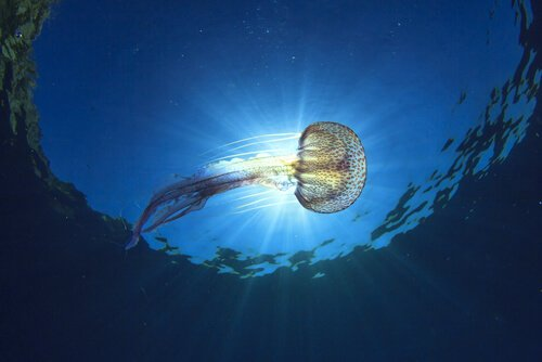 Tipos de águas-vivas que habitam o Mar Mediterrâneo