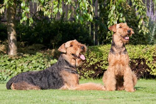 Cães da raça airedale terrier