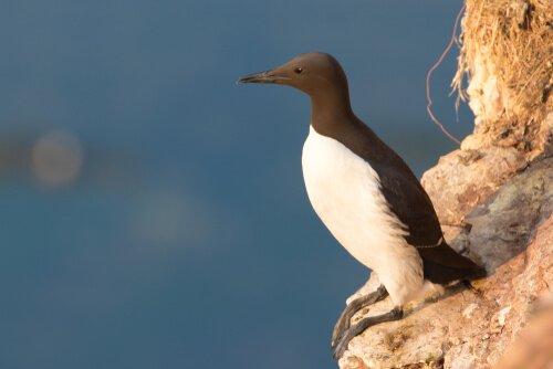 O airo: uma ave com ovos à prova de queda
