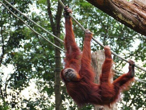 Características físicas do orangotango de Sumatra