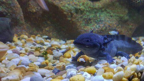 Axolote de cor escura