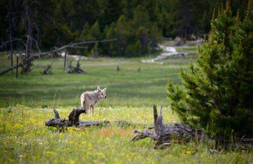 Animais ameaçados de extinção no Parque Nacional de Yellowstone