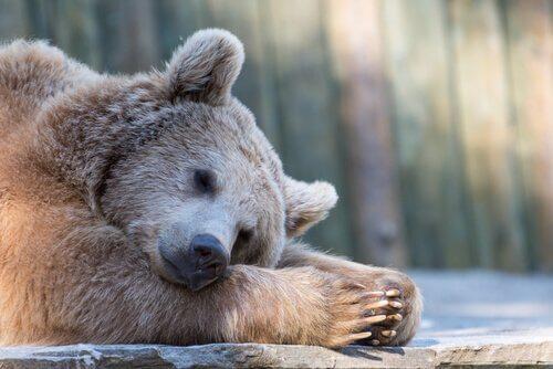 Como os animais sobrevivem sem comer durante a hibernação?