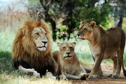 Leões na Reserva Natural de Odzala-Kokoua