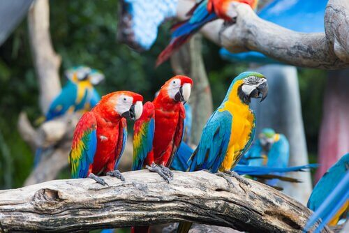 Araras: características, alimentação e habitat