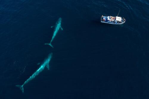 Baleia azul com filhote