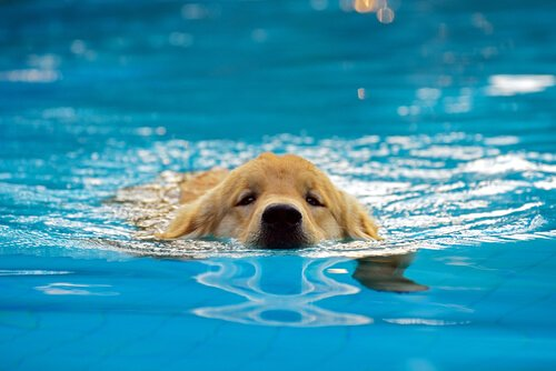 banho de cachorro na piscina