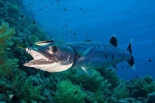 Alimentação da barracuda