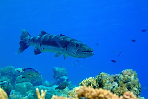 Habitat da barracuda