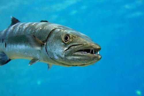 Barracuda, um peixe agressivo e imprevisível