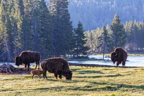 Bisonte em Yellowstone