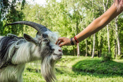As cabras preferem os sorridentes