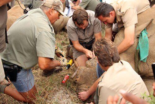 Injetar veneno nos chifres de rinocerontes para protegê-los