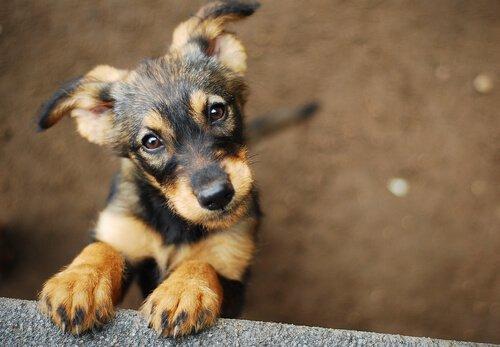 O cachorro, a primeira domesticação