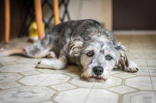Ansiedade de separação quando o animal está sozinho