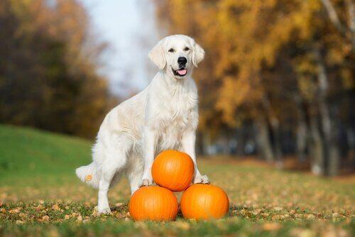 Benefícios de incluir a abóbora na alimentação do seu cachorro