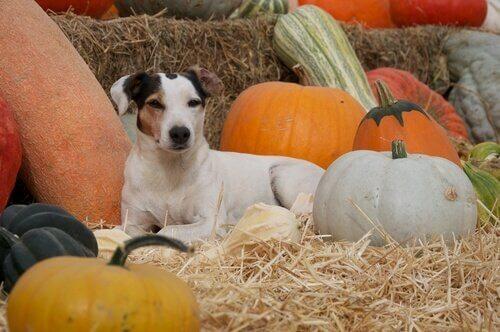 Cachorro com diversos tipos de abóbora