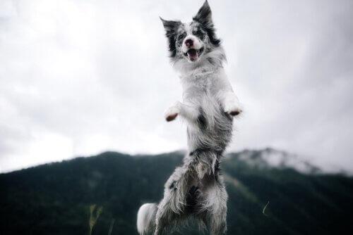 Um cachorro hiperativo precisa de mais espaço para brincar
