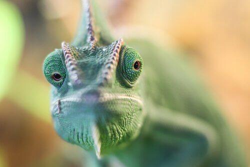 Camaleão verde