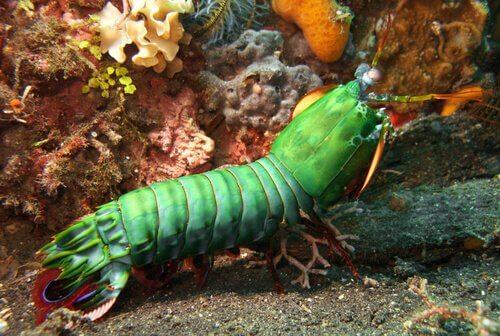Espécie de camarão