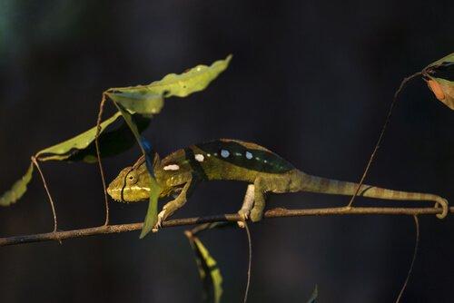 Filhote de camaleão
