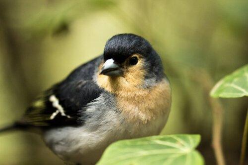 Pássaros endêmicos