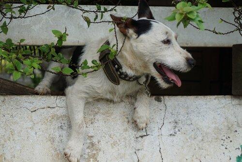 Cão fugindo de casa