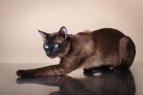 Características do gato tonquinês