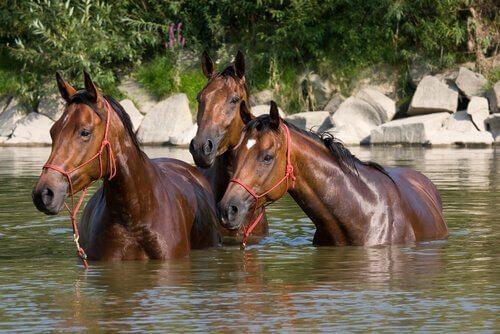 Cavalos em rio
