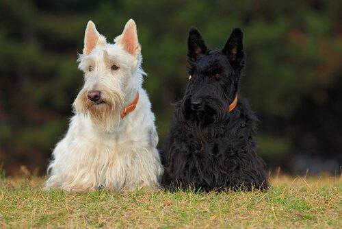 4 raças de cães escoceses