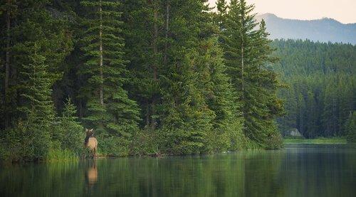 Os cervos da floresta