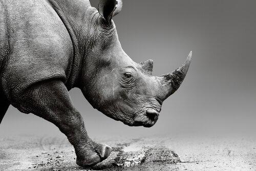 Reserva injeta veneno nos chifres dos rinocerontes para protegê-los