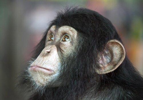 O chimpanzé é inteligente