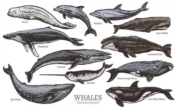 Como os cetáceos são classificados e quais são eles?