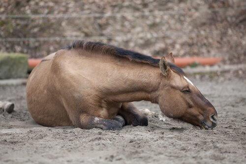 Quais são os diferentes tipos de cólicas dos cavalos?