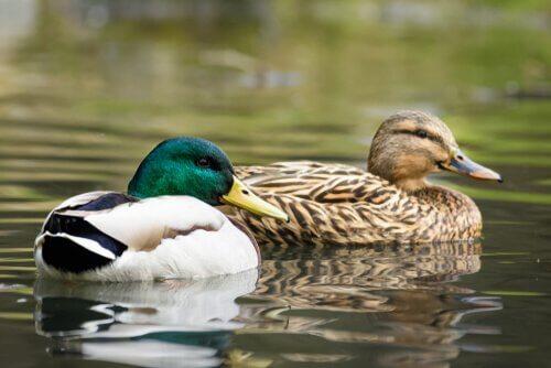 Patos relaxando na água
