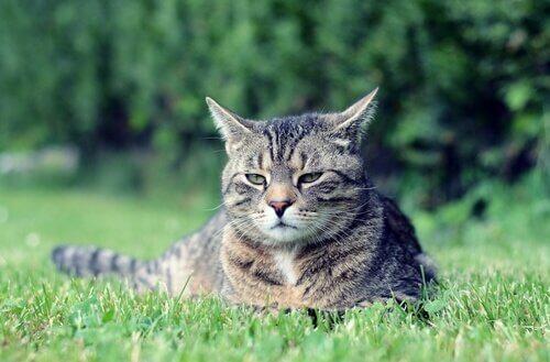 Características do gato manês