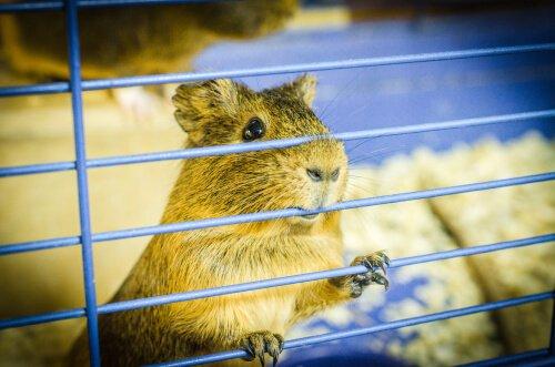 Hamster que morde as barras da jaula: o que fazer?