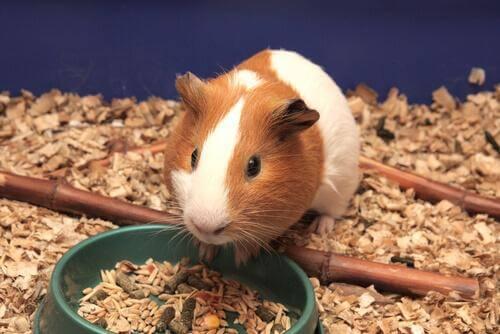 Como cuidar dos dentes dos roedores e da sua alimentação