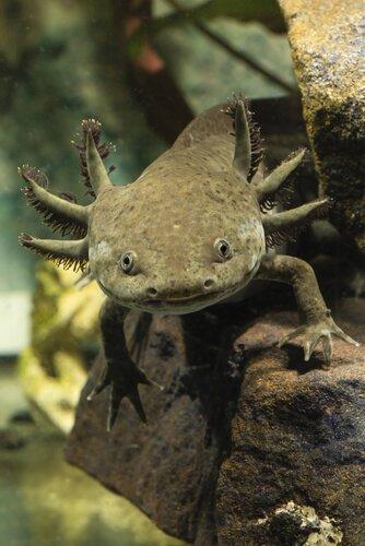 Dicas para manter os axolotes no aquário