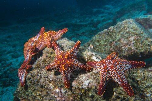 Estrela-do-mar: 10 curiosidades sobre esse equinoderme