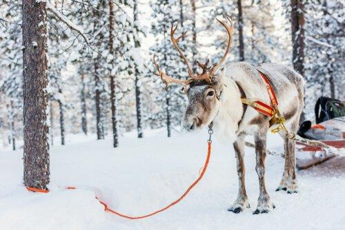 As renas foram feitas para o frio