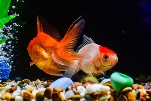 Aclimatação dos peixes no aquário